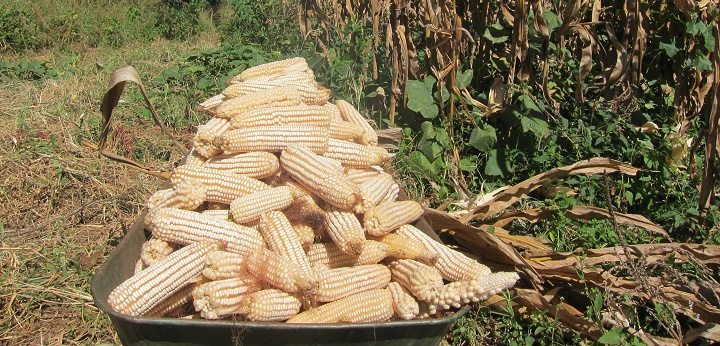 Fresh imports worries maize farmers as price drops