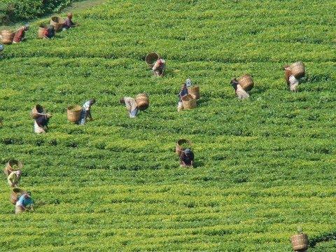 Tea auction prices Down below 2–dollars